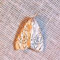 Meganola polyodonta, Nolidae? (15474428615).jpg