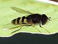 Megasyrphus erraticus (Syrphidae) - Große Waldschneisenschwebfliege (10613514643).jpg