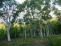 Melaleuca acacioides 01.JPG