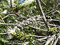 Melaleuca rhaphiophylla (fruits).JPG