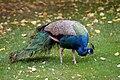 Melbourne-zoo-peacock.jpg