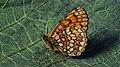 Melitaea athalia - Heath fritillary - Шашечница аталия (48127229177).jpg