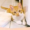 Melon, the orange cat, Taipei; July 2016 (08).jpg