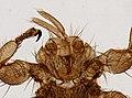 Melophagus ovinus (YPM IZ 093753).jpeg