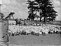 Men with dogs herding sheep inside a pen (AM 80936-1).jpg
