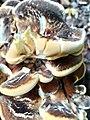 Meripilus giganteus 96216117.jpg