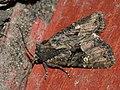 Mesapamea secalella secalis - Common rustic (26258780607).jpg