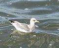 Mew Gull, San Simeon, California.jpg