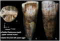 Middle Pleistocene ancient teeth.png