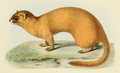 Milne Edwards - Mustela sibirica davidiana.png