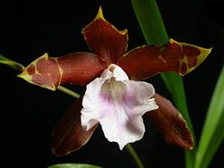 meaning of miltonia