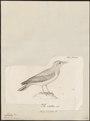 Mirafra lusitania - 1700-1880 - Print - Iconographia Zoologica - Special Collections University of Amsterdam - UBA01 IZ16100381.tif