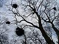 Mistletoe - geograph.org.uk - 1190433.jpg