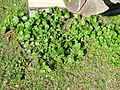 Modiola caroliniana plant2 (14463961298).jpg