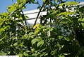 Momordica charantia 6zz.jpg