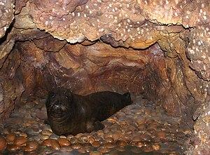 Mediterranean Monk Seal Memorandum of Understanding - Image: Monachus monachus Museo civico di storia naturale (Milan)