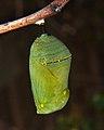 Monarch Chrysalis (5612179133).jpg