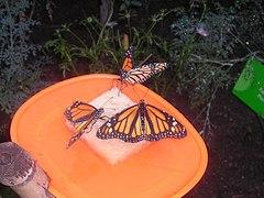 Monarchbutterflysdrinking.JPG