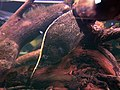 Monocirrhus polyacanthus.jpg