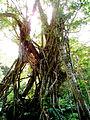 Monts Koghis - Banian (3225065180).jpg