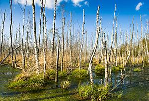 Birch dieback - Dead downy birch in Germany
