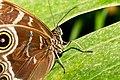 Morpho peleides Naturospace Honfleur -7164.jpg