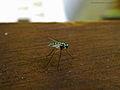 Mosquito (5149696601).jpg