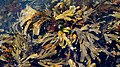 Mostly serrated wrack and red hornweed at the North Harbor Lysekil.jpg