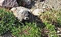 Mount Rainier - September 2017 - Hoary marmots 10.jpg
