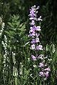 Mountain Flower (4843968253).jpg