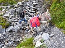 Uomo e asino camminano insieme affrontando un passaggio lungo un sentiero.