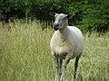 Mouton (04).jpg
