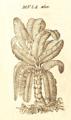 Musa Daléchamps 1586 Historia plantarum 2 1839.png