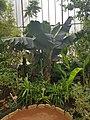 Musa acuminata, CJGB.jpg