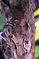 Musa acuminata 1zz.jpg