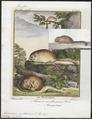 Muscardinus avellanarius - 1700-1880 - Print - Iconographia Zoologica - Special Collections University of Amsterdam - UBA01 IZ20400167.tif