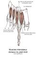 Muscles interosseux dorsaux du pied.png