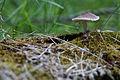 Mushroom with a centipede (14142266469).jpg