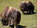 Muskox at the Point Defiance Zoo.jpg