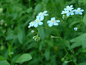 Description de l'image  Image:Myosotis scorpioides.jpg .