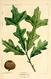 NAS-006f Quercus lyrata.png
