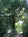 ND 611.074, Stieleiche, 4, Wolfsanger-Hasenhecke, Kassel.jpg