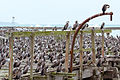 NZ070315 Oamaru Spotted Shags 01.jpg