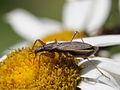Nabis sp. (Hemiptera- Nabidae) from Slovakia (7616340986).jpg