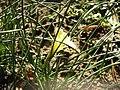 Narcissus romieuxii3.jpg