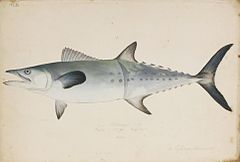 Naturalis Biodiversity Center - RMNH.ART.191 - Scomberomorus sinensis (Lacépède) - Kawahara Keiga - 1823 - 1829 - Siebold Collection - pencil drawing - water colour.jpeg