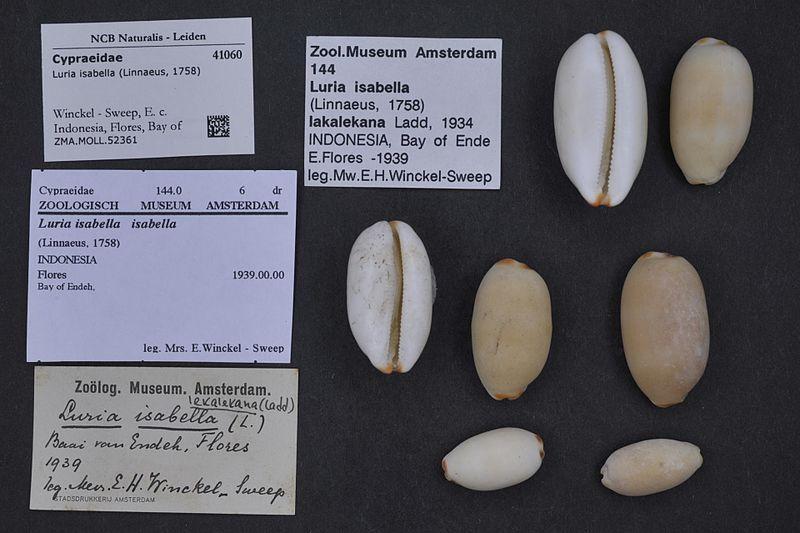 File:Naturalis Biodiversity Center - ZMA.MOLL.52361 - Luria isabella (Linnaeus, 1758) - Cypraeidae - Mollusc shell.jpeg