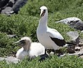 Nazca Booby with Chick (47987618208).jpg