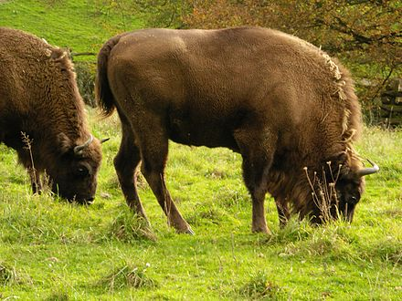 Once roaming the great temperate forests of Eurasia, European bison now live in nature preserves in Białowieża Forest, on the border between Poland and Belarus. Neandertal - Wisent.jpg