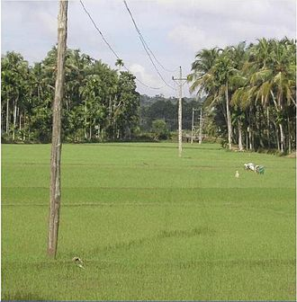 Cherukunnu - Paddy fields